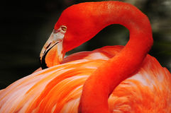 Colorful pink flamingo Stock Photo