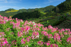 Colorful pink flowers in the garden. Beauty colorful pink flowers in the garden Royalty Free Stock Image