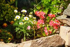 Colorful pink flowers growing in garden Royalty Free Stock Images