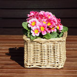 Colorful pink flowers in a small basket Royalty Free Stock Photography