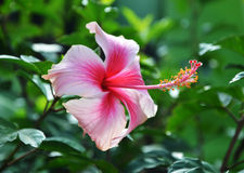 Colorful Pink Hibiscus Flower Royalty Free Stock Photo
