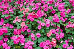 Free Colorful Pink Impatiens Flowers Background Stock Photos - 140251073