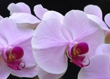 Orchid. Colorful pink and magenta orchids growing in the greenhouse stock image