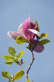 Colorful pink magnolia flower Stock Photos