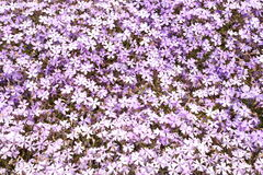 Colorful pink moss Royalty Free Stock Photography