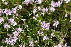 Colorful pink moss phlox as background. Pink Moss Flower Stock Photos