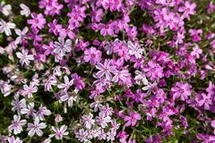 Colorful pink moss phlox as background. Pink Moss Flower Royalty Free Stock Photos