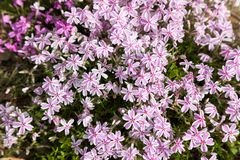 Colorful pink moss phlox as background. Pink Moss Flower Stock Image