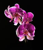 Colorful pink orchid Stock Images
