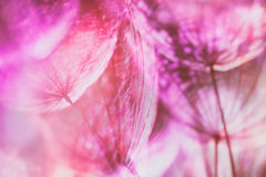 Colorful Pink Pastel Background - vivid abstract dandelion flowe Royalty Free Stock Photos