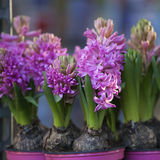 colorful pink and purple hyacinths Stock Image