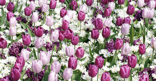 Colorful pink and purple tulips in the garden. Beautiful nature Stock Photos