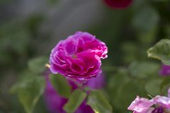 Colorful Pink Red Yellow White Rose and Flowers stock image