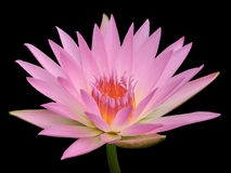 Colorful pink water lilly in the lake Royalty Free Stock Photos