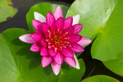 Colorful pink water lilly in the lake Stock Photo