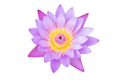 Colorful pink water lilly on white Royalty Free Stock Photo