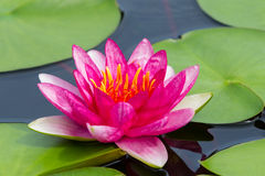 Colorful pink water lilly (Yuh Ling) Stock Images