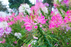 Colorful pink white red flower garden in countryside in. Colorful pink white red flower garden in countrye in Chiang Mai Royalty Free Stock Photo