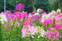 Colorful pink white red flower garden in countryside in. Colorful pink white red flower garden in countrye in Chiang Mai Stock Image