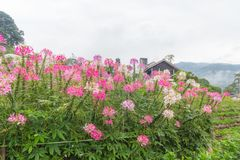 Colorful pink white red flower garden in countryside in. Colorful pink white red flower garden in countrye in Chiang Mai Royalty Free Stock Photography