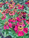 Colorful pink and yellow Helenium flowers Stock Photo
