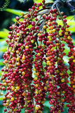 Plam seeds. The colorful plam seeds in Thailand Royalty Free Stock Photo