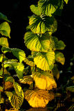 Colorful plant in autumn in late afternoon light Stock Photography