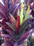 Colorful Plant. Colorful contrasting Plant with Green & Red Hues Stock Photography
