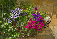 Colorful plants in wall mounted wrought iron basket Royalty Free Stock Images