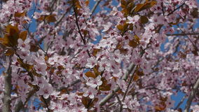 Colorful plum flowers stock video footage