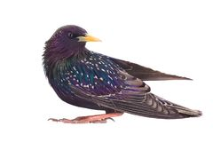 Colorful plumage of a European Starling. Sturnus vulgaris spring, isolated on a white background Royalty Free Stock Photos