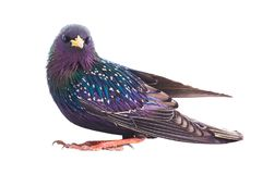 Colorful plumage of a European Starling. Sturnus vulgaris spring, isolated on a white background Stock Photos