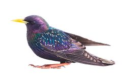 Colorful plumage of a European Starling. Sturnus vulgaris spring, isolated on a white background Stock Image