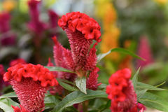 Colorful of plumed cockscomb flower Royalty Free Stock Photo
