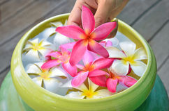 Colorful of plumeria. Flower floating in the yellow bowl and flower in the hand Stock Photo