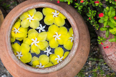 Colorful of Plumeria flower floating in the ancient bowl Royalty Free Stock Image