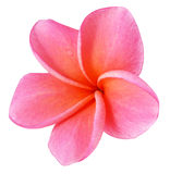 Colorful plumeria flower isolated on white Royalty Free Stock Photography