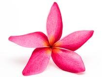 Colorful plumeria flower Stock Images