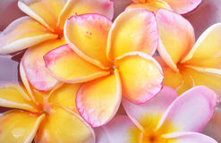 Colorful plumeria flower Royalty Free Stock Photography