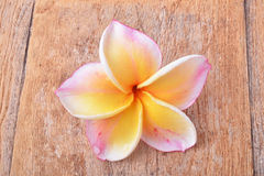 Colorful plumeria flower Stock Photography