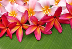 Colorful Plumeria flowers. On banana leaf Royalty Free Stock Photo
