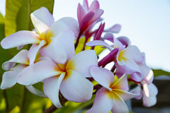 Colorful plumeria flowers royalty free stock photos