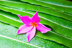 Colorful Plumeria flowers on leaf Stock Photos