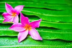 Colorful Plumeria flowers on leaf Royalty Free Stock Photo