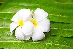 Colorful Plumeria flowers on leaf Royalty Free Stock Image