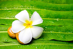 Colorful Plumeria flowers on leaf Stock Images
