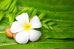Colorful Plumeria flowers on leaf Stock Photography