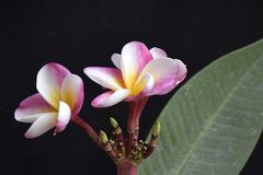 Colorful plumeria in my garden in the sunshine Stock Image