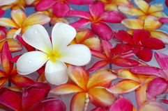 Colorful plumeria in the pool. White, yellow and red plumeria floating in scented water Royalty Free Stock Image