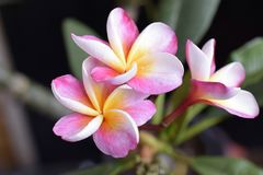 Colorful plumeriq in my garden in the sunshine Stock Photography